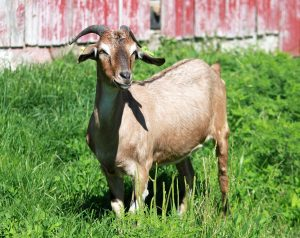 Goats for Sale - Welcome to Hoosier Hills GoatsWelcome to